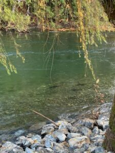 salmon spawning upper Cowichan River_JayneIngram