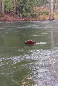 Male Coho in Cowichan River
